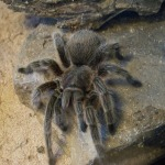 Chilean Rose Hair Tarantula 2