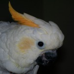 CITRON CRESTED COCKATOO 2