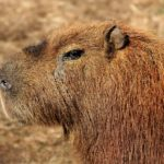 capybara-captain-3