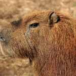 CAPYBARA CAPTAIN 3