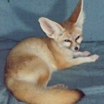 FENNEC FOX 6 SMALL