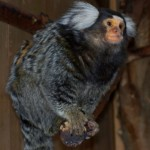 WHITE EARED TUFTED MARMOSET (GADGET) 1 SMALL
