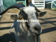 AFRICAN PYGMY GOAT (ANIMAL TAILS)