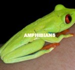 RED EYED TREE FROG 1 (AMPHIBIANS)