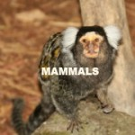 WHITE-EARED TUFTED MARMOSET WHITE-EARED TUFTED MARMOSET (GIZMO) 5 (MAMMALS)