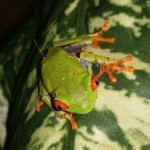 RED EYED TREE FROG 2.5