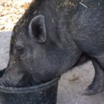Wilbur Wilbur had been a year old when we rescued him. The previous owner could not take care of him any more and the husband was going to shoot him if he was not found a new home.