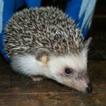 south-african-hedgehog-1